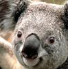 Google Profile Image of a Koala
